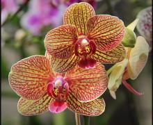 IMG_8974H_Orchid-byMortRosen_web